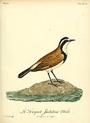 Male Traquet imitateur from the Book Histoire naturelle des oiseaux d'Afrique [Natural History of birds of Africa] Volume 4, by Le Vaillant, Francois, 1753-1824; Publish in Paris by Chez J.J. Fuchs, libraire 1805