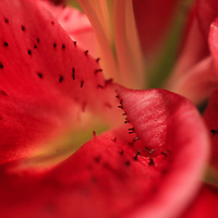 """""""Watermelon Lily""""<br /> <br /> The look of a juicy piece of watermelon in a Lily macro!!<br /> <br /> The Lily Gallery by Rachel Cohen"""