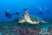 hawksbill sea turtle, Eretmochelys imbricata ( Endangered Species ), and scuba divers, Tortuga Reef, Playa del Carmen, Cancun, Quintana Roo, Yucatan Peninsula, Mexico ( Caribbean Sea )