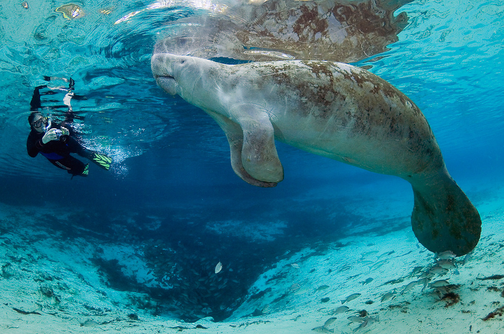 Snorkeler and Florida Manatee in the Three Sisters Spring in Crystal River, FL. Three Sisters is a refuge for manatees during winter as the endangered sea mammals shelter in the 72 F water gushing from the ground.