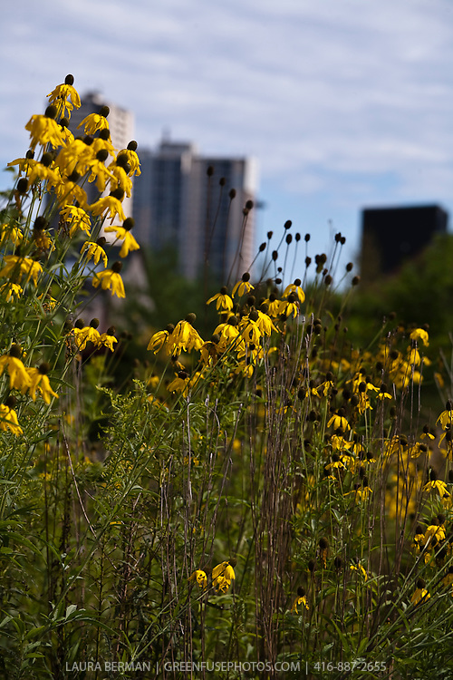 Rudbeckia lacinata in a sunny meadow with highrise buildings in the background.