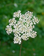 HOGWEED Heracleum sphondylium (Apiaceae) Height to 2m<br /> Robust, roughly hairy perennial with hollow, ridged stems. Found in meadows and open woodlands and on roadside verges. FLOWERS are off-white, with unequal petals; borne<br /> in umbels with 40 or so rays, and up to 20cm across (May-Aug). FRUITS are elliptical, hairless and flattened. LEAVES are up to 60cm long, broad, hairy and pinnate, the lobes usually rather ovate. STATUS-Widespread and common throughout the region.
