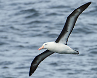 Black-browed Albatross (Thalassarche melanophris). South Atlantic Ocean. Viewed from the deck of the Hurtigruten MS Fram. Image taken with a Nikon Df camera and 80-400 mm lens.