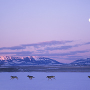 A pack of gray wolves (Canis lupus) running at dawn, during the moonrise, in the Crazy Mountains, Montana. Captive Animal