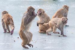 January 30, 2018 - Nanjing, Jiangsu, China - Monkeys playing on the ice at Hongshan Forest Zoo in Nanjing,Jiangsu, China on 30th January 2018. (Credit Image: © TPG via ZUMA Press)