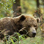 Alaskan Brown Bear, (Ursus middendorffi) Portrait of adult in vegetation. Fall. Alaska Peninsula.