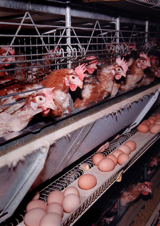 Putten, 17-11-1998.Legbatterij. Moderne legbatterij met 40.000 leghennen, 4 hennen per hokje, geheel volgens de wettelijke eisen. De eieren zijn voornamelijk voor de export en worden tot in Hong Kong gegeten. In deze moderne legbatterij wordt de mest gedroogd en tot korrels verwerkt. De hiervoor benodigde energie wordt opgewekt met warmtekrachtkoppeling uit de  warmte van de kippen..Foto: (c) Michiel Wijnbergh/Hollandse Hoogte