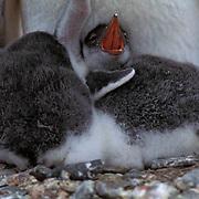 Gentoo Penguin, (Pygoscelis papua) Chicks huddled close to adult. Livingston Island.Antarctica Peninsula.