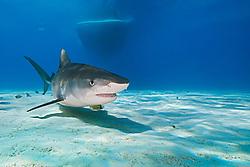 Tiger Shark, Galeocerdo cuvier, and boat, West End, Grand Bahama, Atlantic Ocean