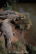 Nile crocodiles, (c) <br /> Crocodylus niloticus, <br /> basking with mouth open,<br /> South Africa