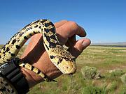 Docile Great Basin Gopher Snake being Handled, Ruby Lake National Wildlife Refuge, Nevada