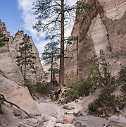 """Tall tree in Slot Canyon. See fantastic hoodoos and a great slot canyon in Kasha-Katuwe Tent Rocks National Monument, in New Mexico, USA. Hike the easy Cave Loop Trail plus Slot Canyon Trail side trip (3 miles round trip), 40 miles southwest of Santa Fe, on the Pajarito Plateau. Distinctive cone-shaped caprocks protect soft pumice and tuff beneath. Geologically, the Tent Rocks are made of Peralta Tuff, formed from volcanic ash, pumice, and pyroclastic debris deposited over 1000 feet thick from the Jemez Volcanic Field, 7 million years ago. Kasha-Katuwe means """"white cliffs"""" in the Pueblo language Keresan. This panorama was stitched from 2 overlapping photos."""
