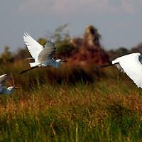 Africa, Botswana, Okavango Delta. Great White Egrets in flight over the Okavango.