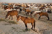 Horses for sale at the Mallinath Fair at Tilwara, near Balotra, Rajasthan, India