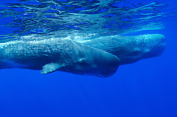 sperm whale, Physeter catodon, Physeter macrocephalus, mother and calf, Azores, Portugal, Atlantic Ocean