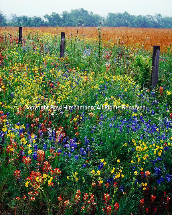 Field of Englemann's Daisy, Engelmannia pinnatifida, Texas Bluebonnet, Lupinus texensis, and Texas Paintbrush, Castilleja indivisa, south of Willow Springs, Austin County, Texas.