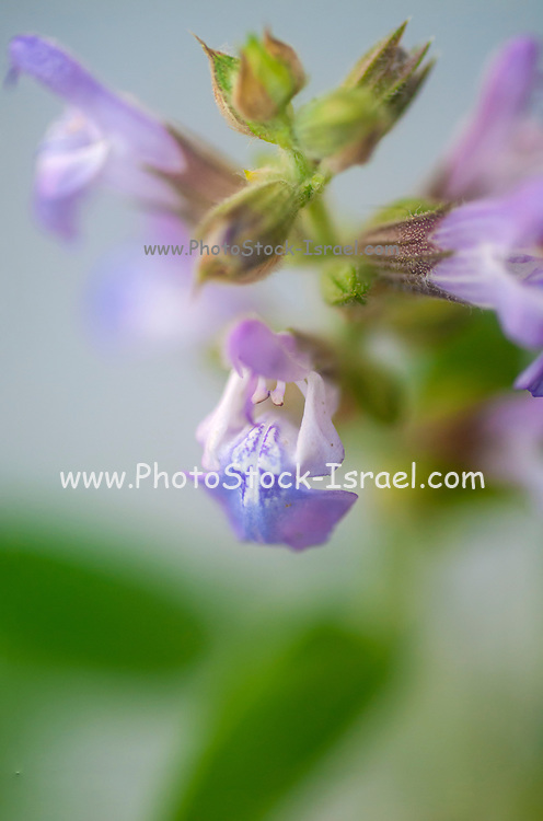 Salvia officinalis (sage, also called garden sage, common sage, or culinary sage) is a perennial, evergreen subshrub, with woody stems, grayish leaves, and blue to purplish flowers. It is a member of the mint family Lamiaceae and native to the Mediterranean region, Photographed in Jaffa, Israel in March