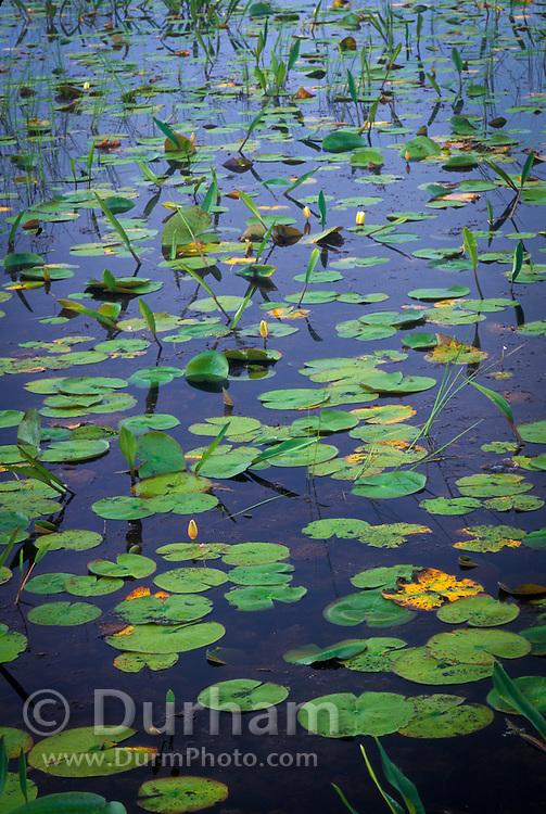 Water lillies floating in tanic water, Okefenokee National Wildlife Refuge, Georgia.