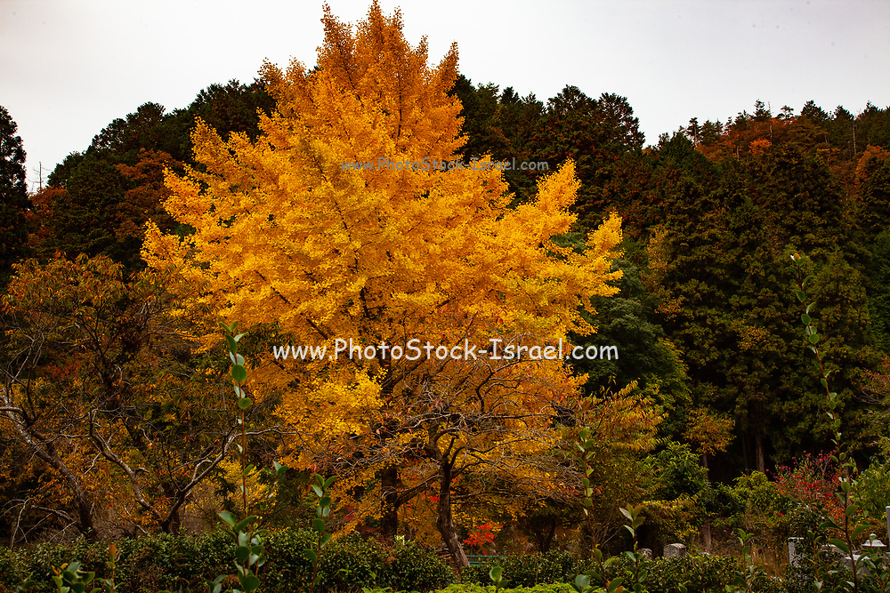 Ginkgo tree in autumn. Ginkgo biloba, commonly known as ginkgo or gingko also known as the maidenhair tree, is the only living species in the division Ginkgophyta, all others being extinct Photographed in Toyooka (Toyooka-shi) is a city in the northern part of Hyogo Prefecture, Japan. The city was founded on April 1, 1950.