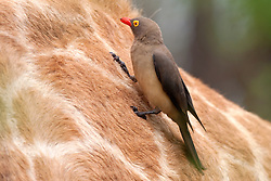 Red-billed Oxpecker (Buphagus erythrorhynchus) perching on Giraffe (Giraffa camelopardalis), South Africa