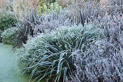 Phormiums and salvias on a frosty winter's morning. Design: John Massey, Ashwood Nurseries