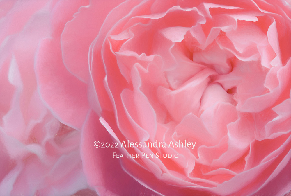 Macro view, central petals of Old English rose. Painterly effects blended with original image.