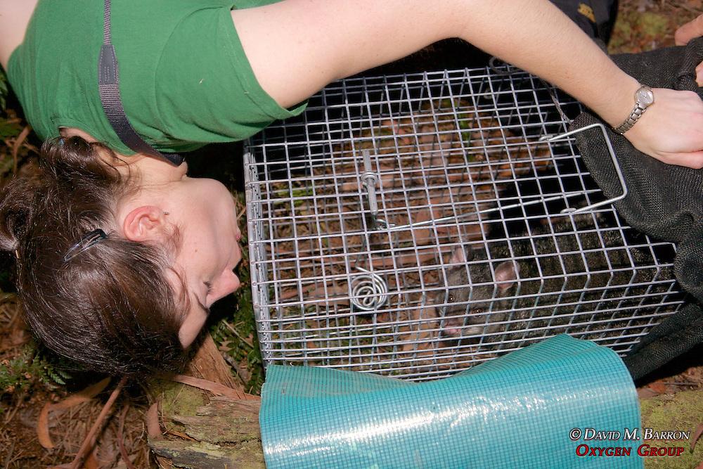 Sarah Hollinshead Transfering Possum From Trap