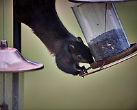 Black Squirrel Raiding the Bird Feeder. Image taken with a Nikon D5 camera and 600 mm f/4 VR telephoto lens (ISO 500, 600 mm, f/4, 1/640 sec)