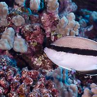 Bandit Angelfish, Apolemichthys arcuatus, (Gray, 1831), Molokai Hawaii