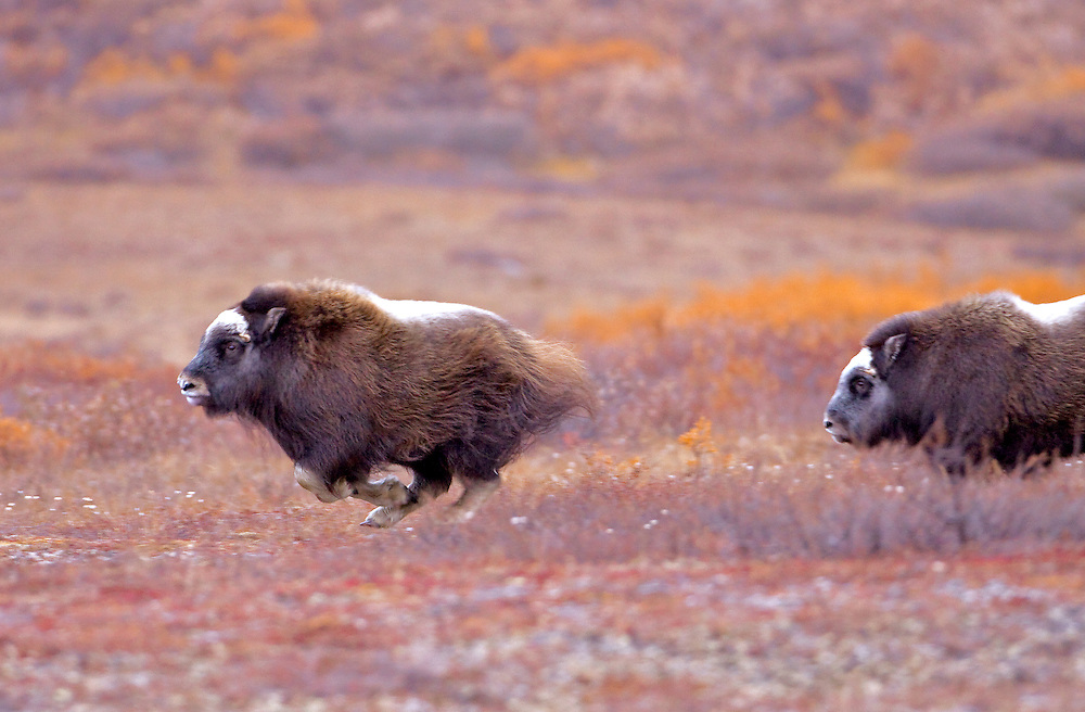 """Alaska; Muskox (Ovibos moschatus) calves playing on the autumn tundra of the Seward Peninsula, outside of Nome.  Muskox, called omingmak meaning """"the animal with skin lake a beard"""" by the local Inupiaq people."""