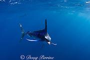 striped marlin, Kajikia audax (formerly Tetrapturus audax ), off Baja California, Mexico ( Eastern Pacific Ocean )