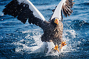 A Steller's sea eagle (Haliaeetus pelagius) crashed into the ocean while attempting to catch a fish, Raisa, Hokkaido, Japan