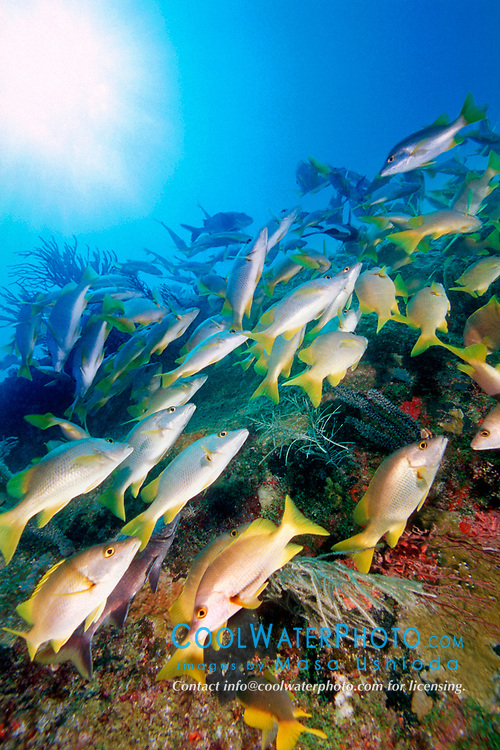 game fish, schoolmasters, Lutjanus apodus, Benwood, Key Largo, Florida Keys NMS, Florida, Atlantic Ocean