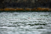 Harbor seal in water, head barely above