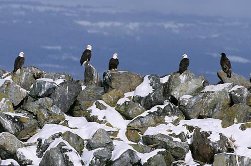 Bald Eagle (Haliaeetus leucocephalus) adults in Alaska.