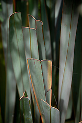 Example of a phormium that has been badly and unnecessarily pruned -  showing where leaf blades have been chopped off.