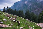 Wild Horses grazing at Kheerganga in Parvati valley in Kullu, Himachal Pradesh, India