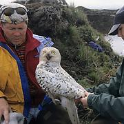 Denver Holt and Laura Phillips banding a female Snowy Owl. Barrow, Alaska
