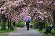 A man with a union jack umbrella walks under cherry blossom trees during rain and wet weather on April 30, 2018 in Greenwich Park in London, England.