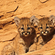 Mountain Lion cubs in the canyonlands of southern Utah. Captive Animal