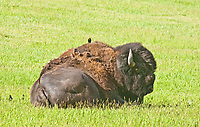 Bull Bison (Bison bison) and a Brown-headed Cow Bird (Molothrus ater). Custer State Park, South Dakota, USA.