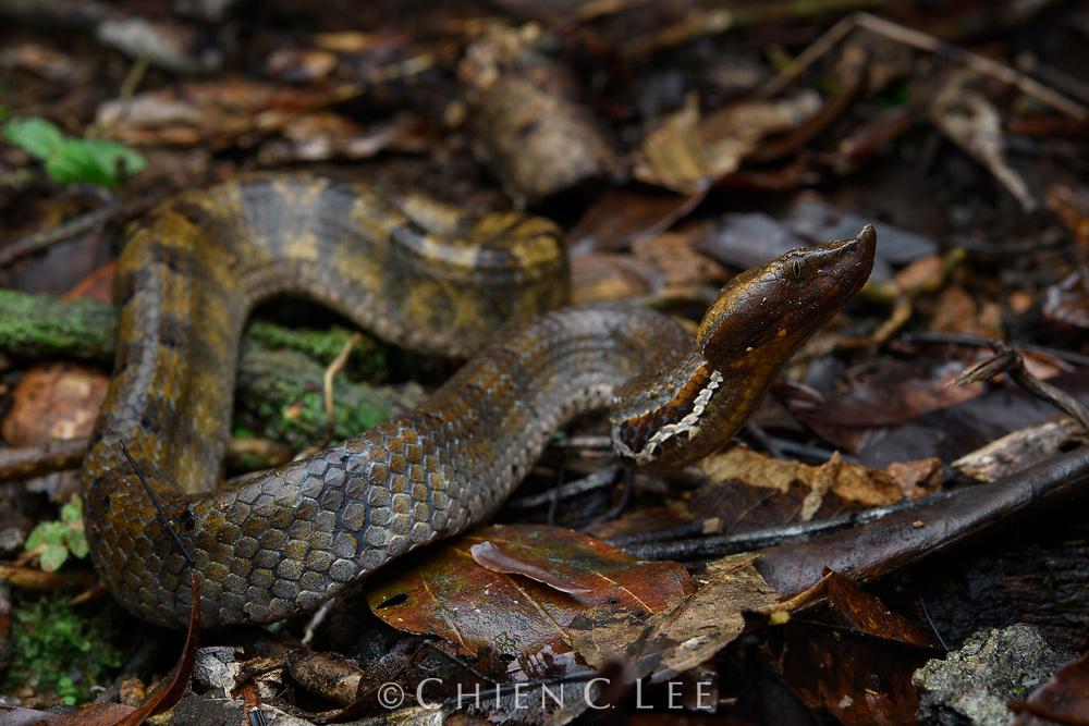 Hump-nosed Viper (Hypnale zara). Sinharaja National Park, Sri Lanka.