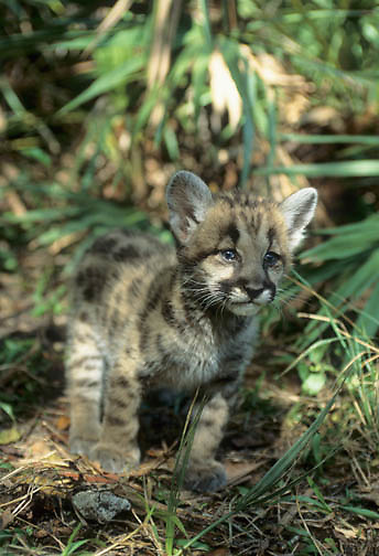 Florida Panther (Felis concolor coryi).  Portrait of a six week old cub in a forest in Florida.  Captive Animal.
