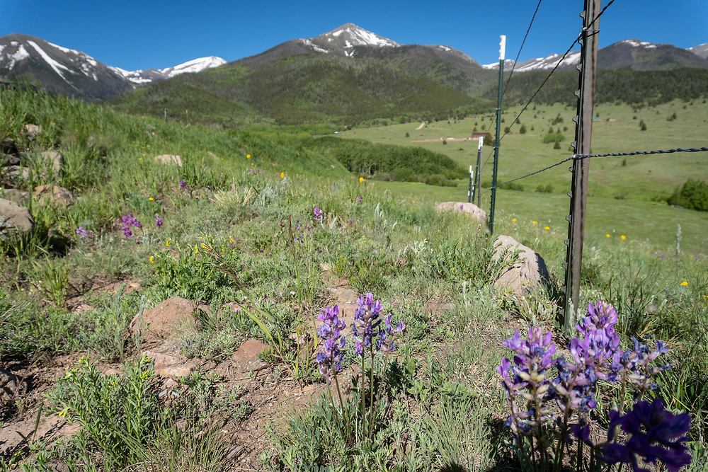 Wildflowers bloom in a meadow beside County Road 172 high in the Wet Mountain Valley.