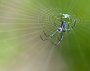 A macro shot of a Orchard Spider (Leucauge venusta) in its web.