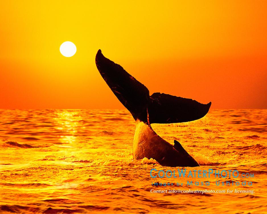 humpback whale, Megaptera novaeangliae, lobtailing at sunset, Megaptera novaeangliae, Hawaii, USA, Pacific Ocean, digital composite