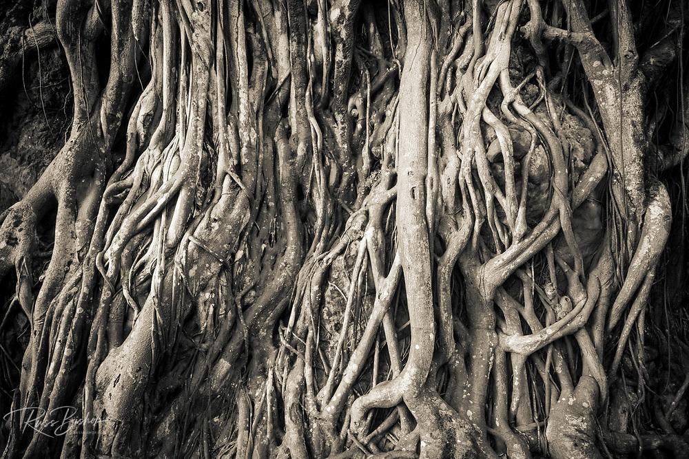 Tree roots, Onomea Bay, Hamakua Coast, The Big Island, Hawaii USA