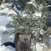 Fisher, (Martes pennanti) In Snowy Douglas Fir tree. Montana. Captive Animal.