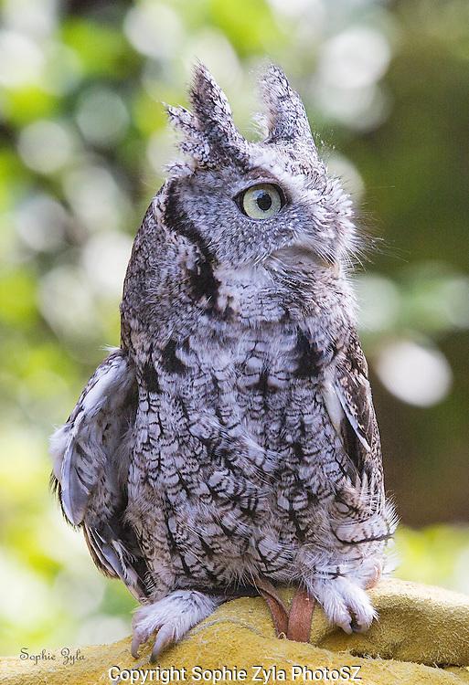 Eastern Screech Owl Snowball APCH