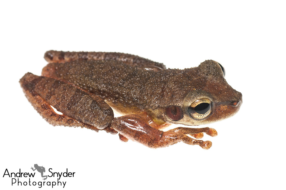 Cayenne slender-legged treefrog, Osteocephalus leprieurii, Kanuku Mountains, Guyana, July 2013